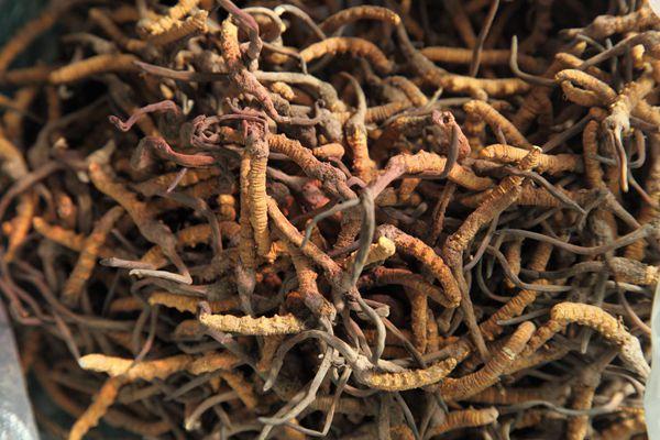 吃冬虫夏草调节肾脏功能