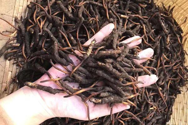 新鮮冬蟲夏草每年只有5、6月份才有