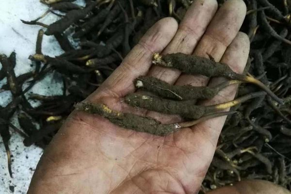 新鮮冬蟲夏草的價格