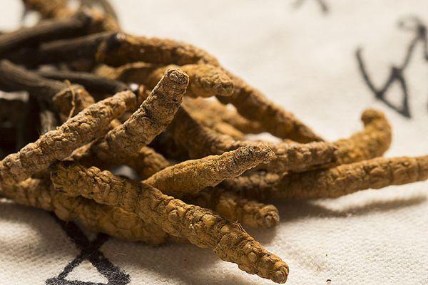 冬蟲夏草對糖尿病具有一定的功效