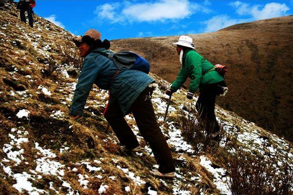 雪山挖蟲草