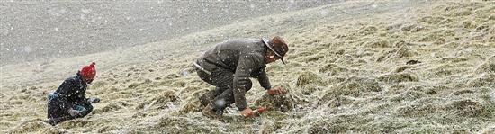 大雪纷飞挖冬虫夏草