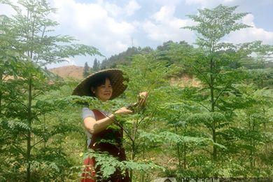 荔浦大瑶村防返贫改种辣木 向辣木产业化迈进一步
