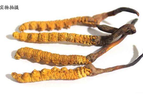 冬虫夏草能防治习惯性感冒