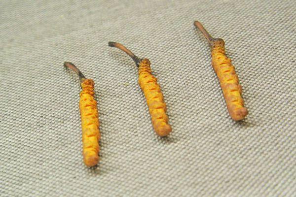 冬蟲夏草有效成分可以保護肝臟