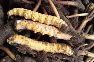 新鮮蟲草有哪些吃法