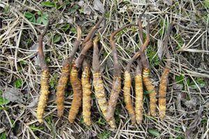 青海西藏两地冬虫夏草协会将联合组织举行冬虫夏草产业发展高峰论坛