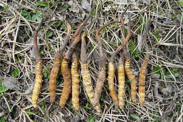 冬蟲夏草是30萬牧民的依靠