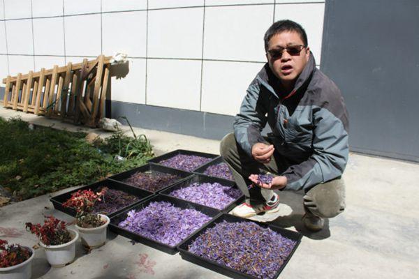 陸劍濤正在查看剛采下來的和已經曬干的紫色花朵