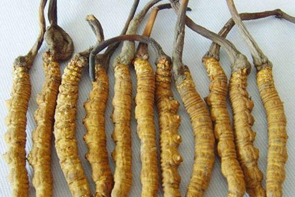 冬蟲夏草的主要分布情況