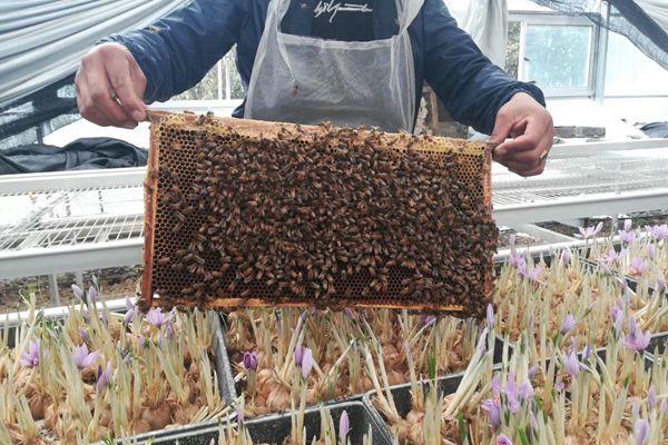 高原蜜蜂正在藏紅花大棚采蜜