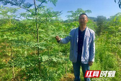 湖南省古丈县细塔村发展辣木产业脱贫奔小康