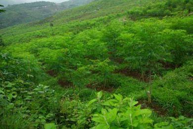 蜀地农民种辣木 创业不忘给家乡带来良好的生态