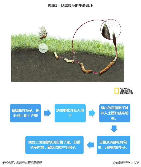 冬蟲夏草的生命循環
