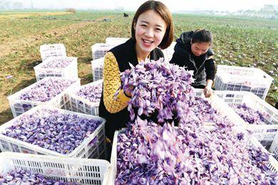 """药材之乡千亩藏红花种植基地""""软黄金""""丰收"""