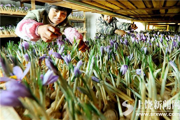 萬和村村民在采摘西紅花
