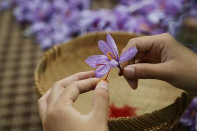 浙江金華永康市的藏紅花進入收獲季