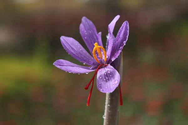 一朵盛開的藏紅花