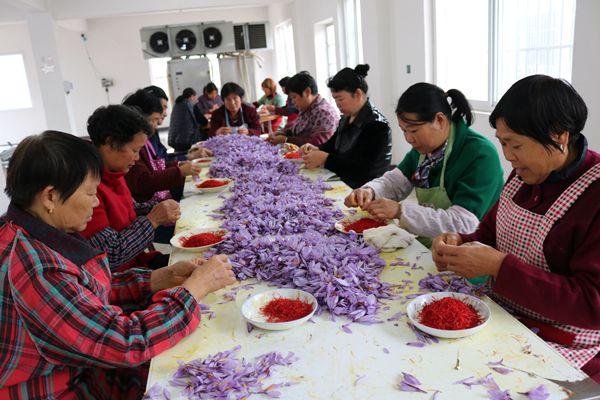 新和村村民正忙于采收西紅花