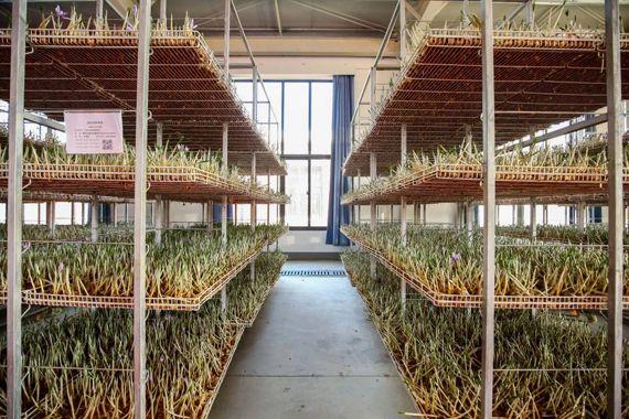 西红花标准化栽培房