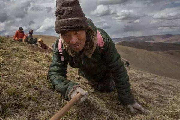 挖冬蟲夏草的人