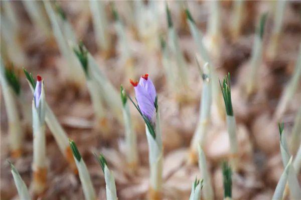 含苞待放的藏紅花