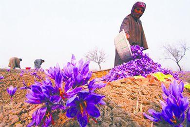 在伊朗聽藏紅花的古老傳說