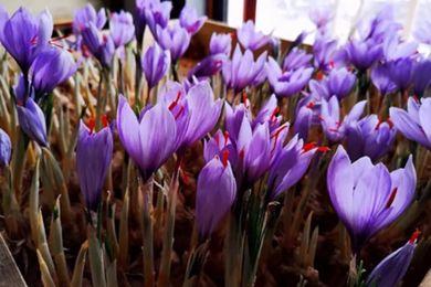 上海奉贤也能种植藏红花