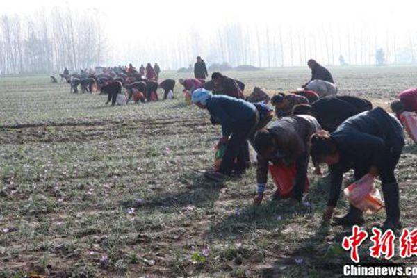 農民在田地里摘取藏紅花
