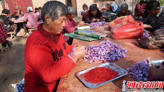 認真剝取藏紅花的花農
