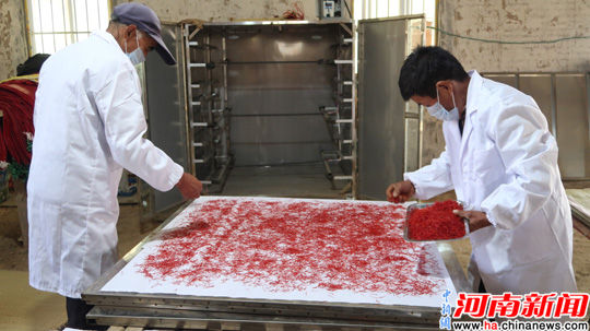 準備烘干的藏紅花