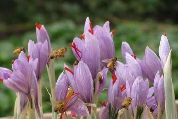 蜜蜂采藏紅花蜜