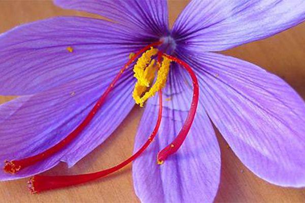 藏紅花花朵細節圖