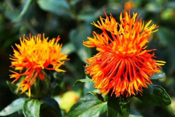 菊科植物紅花