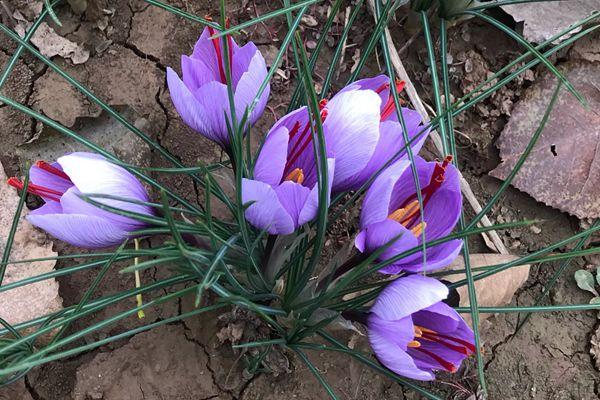 鳶尾科植物藏紅花