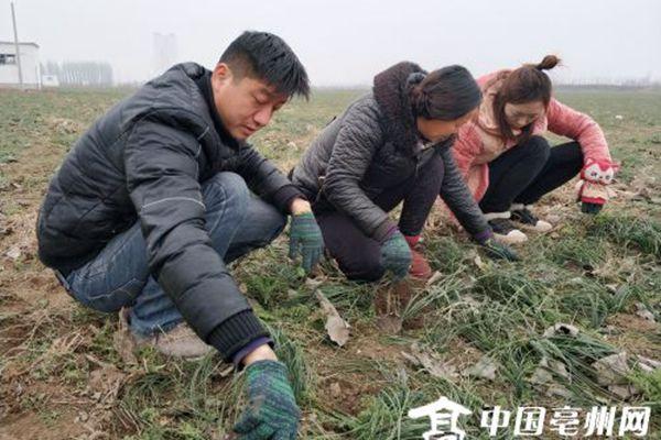 亳州藥農正在給藏紅花除草
