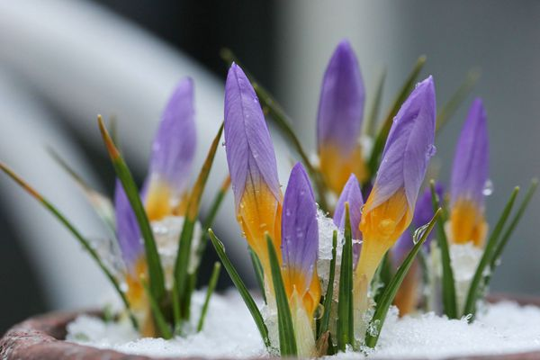 雪中盛开的春番红花
