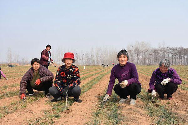農戶在給藏紅花田地除草