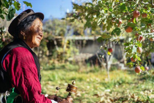 四川甘孜藏族老奶奶每天都來照看蘋果樹