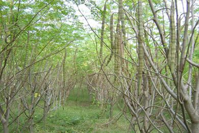 辣木籽生长环境