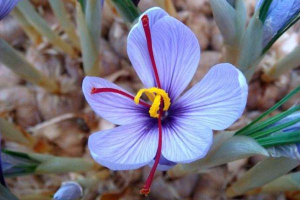 盛开的西红花