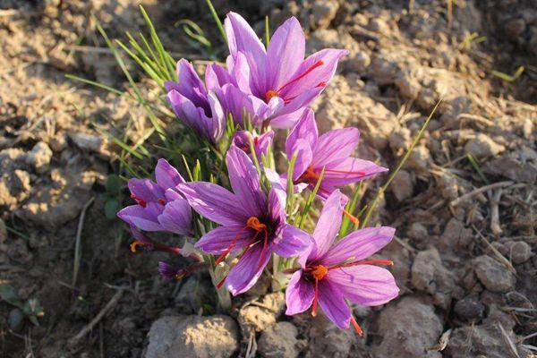 五蓮縣種植的藏紅花