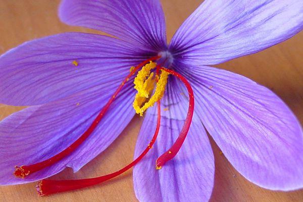 藏紅花花蕊在花朵的位置