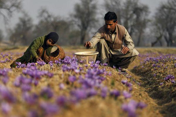 伊朗花農采摘藏紅花