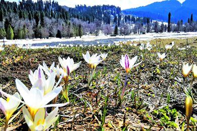 新疆庫爾德寧景區的白番紅花盛開