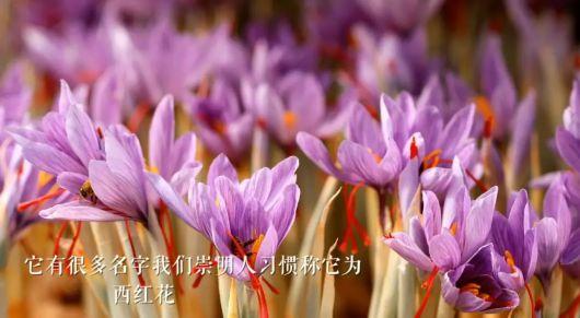 崇明藏红花盛开