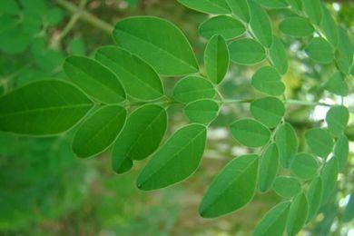 辣木籽树叶如何食用