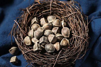 辣木籽品种有哪些