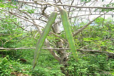 辣木籽生长周期