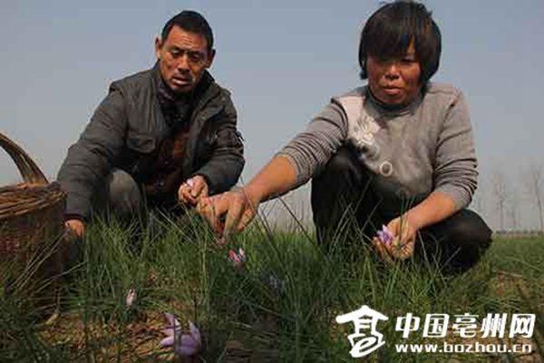 种植户正在田间采摘藏红花